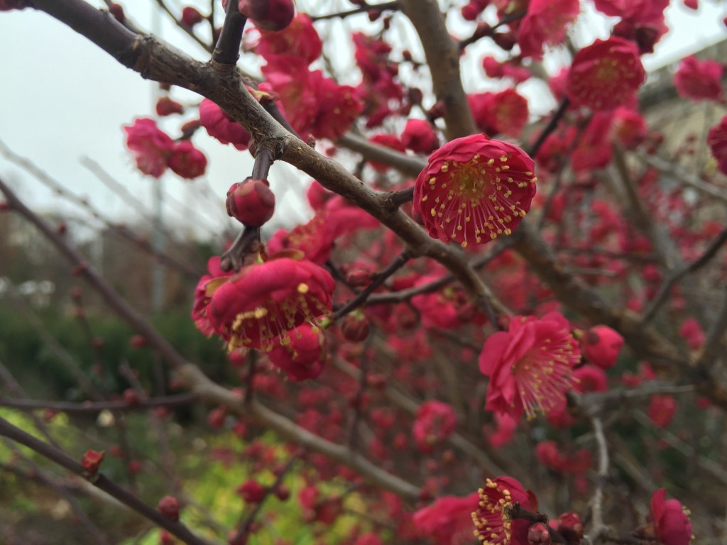 Japanese apricots (Prunus mume) in full bloom right now at the U.S. Botanic Garden Conservatory. Photo by U.S. Botanic Garden