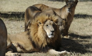 Lions are pictured in Lion Park in Lanseria, northwest of Johannesburg, during a visit there by the members of the German national soccer team, June 25, 2010.  REUTERS/Markus Gilliar/Pool    (South Africa - Tags: SPORT SOCCER WORLD CUP SOCIETY) - RTR2FPLE