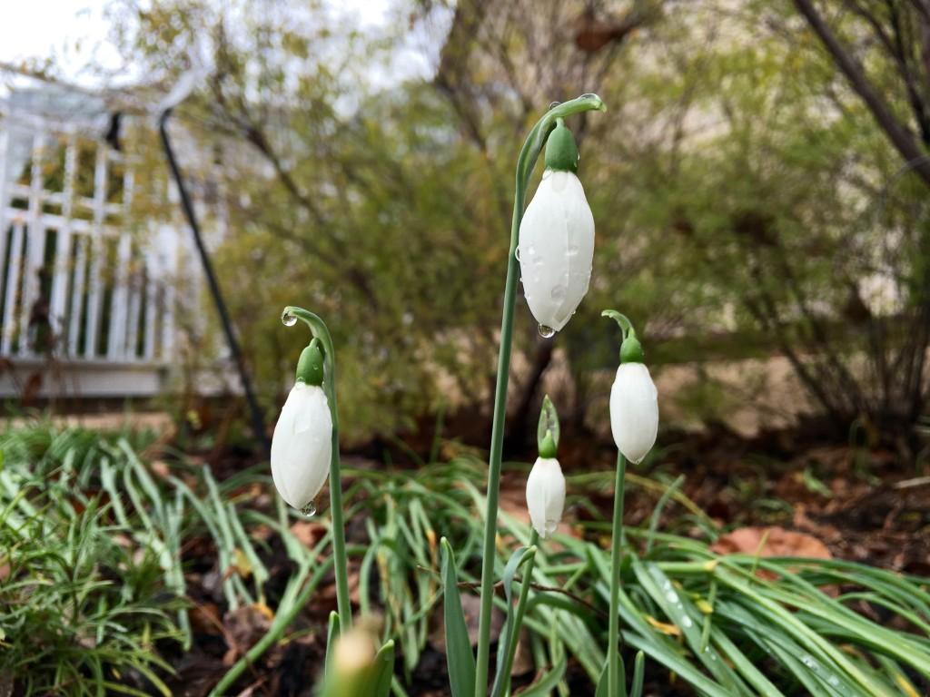 Snowdrops (Galanthus spp.). Photo by U.S. Botanic Garden