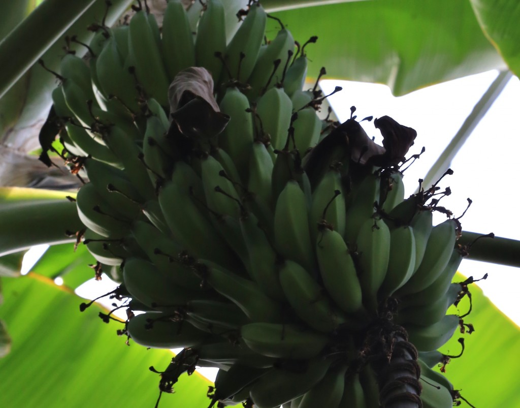 Cluster of Bananas on a tropical tree