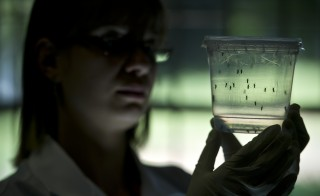 Aedes aegypti mosquitoes are studied at a lab of the Institute of Biomedical Sciences of Sao Paulo University in Brazil on Jan. 8. Researchers at the Pasteur Institute in Dakar, Senegal are in Brazil to train local researchers to combat the Zika virus. Photo by Nelson Almeida/AFP/Getty Images