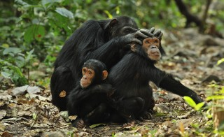 Chimpanzees share more than just grooming time at Gombe Stream National Park in Tanzania. The primates swap gut microbes too, which may affect their health. Photo by Thomas Marent/via Getty Images