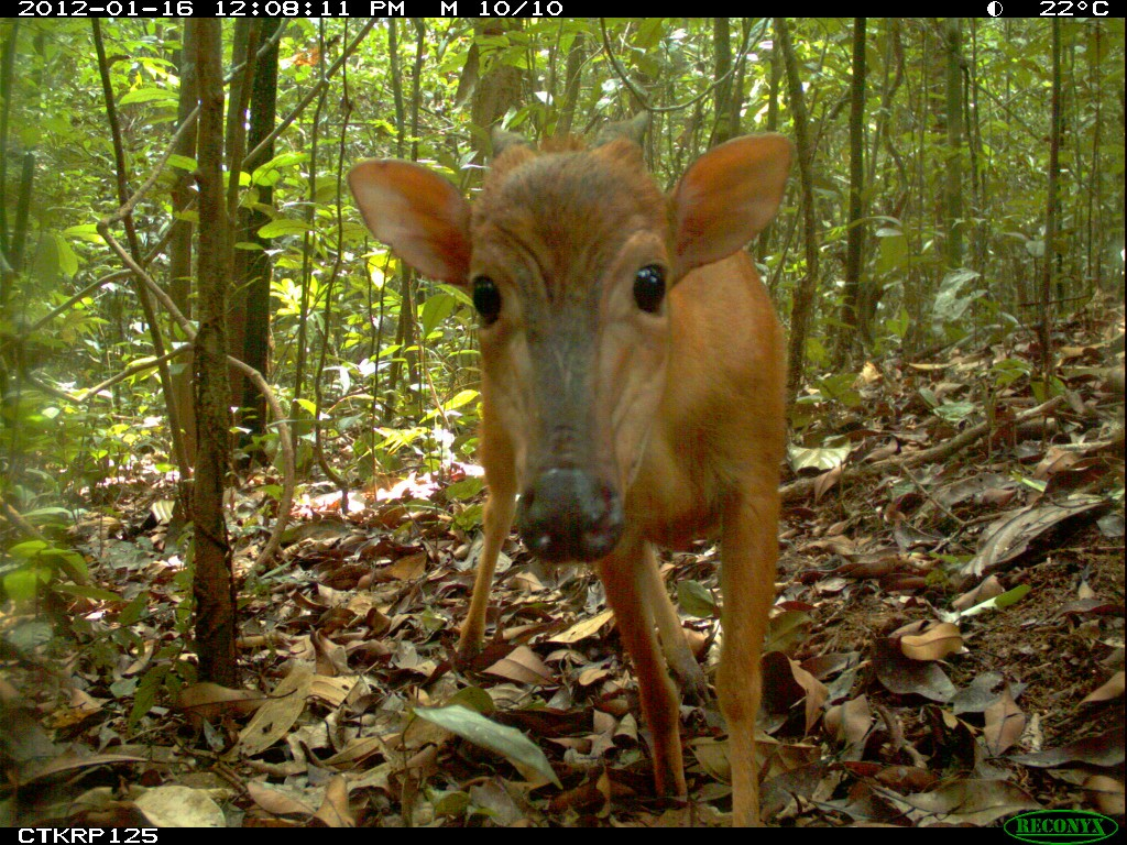 Ogilby's Duiker (Cephalophus ogilbyi) in Cameroon. This species often shows a lot of interest in the cameras.
