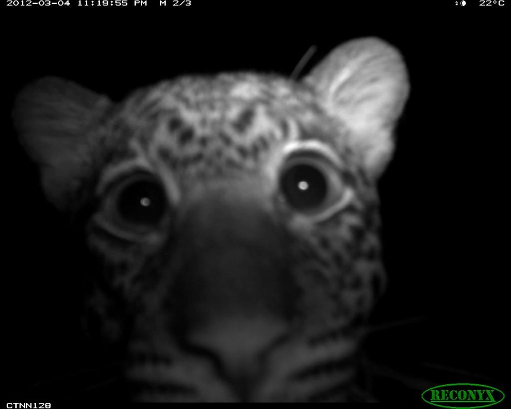 Leopard (Panthera pardus) in Nouabale Ndoki National Park, Republic of Congo.