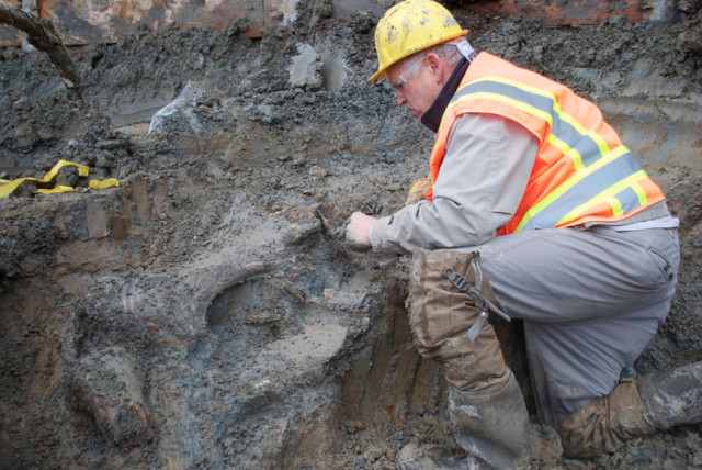 Archaeologists removed ancient bones discovered by construction workers at Oregon State University's Reser Stadium Monday. Photo courtesy of Loren Davis/Oregon State University