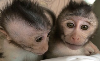 Two members of a second  generation of monkeys that inherited an autism-related trait from genetically modified parents. Photo by Liu et al. Nature (2015).