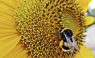 A bumblebee gathers pollen from a sunflower in Sumartin on Croatia's Adriatic Island of Brac. Photo by Nikola Solic/Reuters