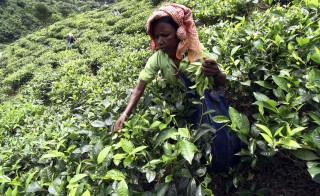 File photo of a tea-leaf harvester in India by Utpal Baruah/Reuters