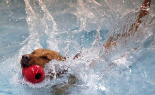 Happy, a Labrador mix, jumps into the swimming pool at a pet hotel in Taipei October 29, 2009. Happy's owners are in China and left him at the pet hotel which is one of the few places in Taiwan that uses swimming as part of a weight loss program and physical therapy for post-surgery dogs. Nicky Loh/REUTERS