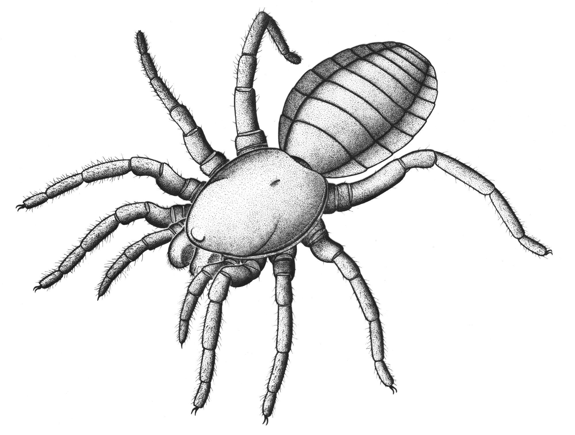 Suggested appearance of the spiderlike arachnid Idmonarachne brasieri. Illustration courtesy of Garwood RJ et al., Proc. R. Soc. B, (2016)
