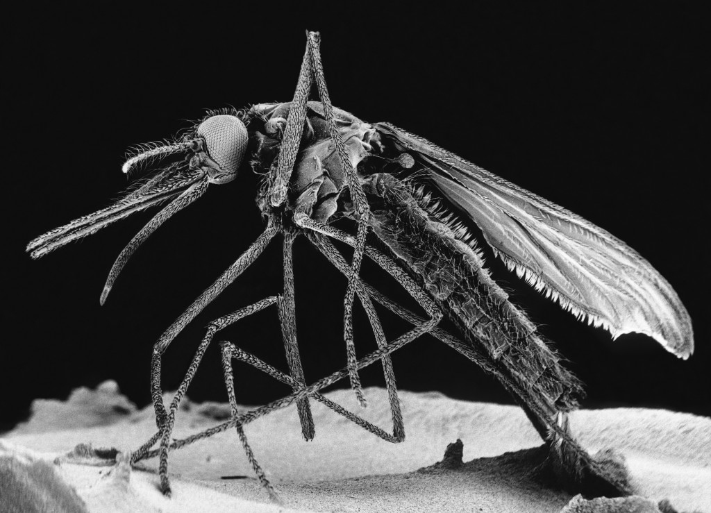 Scanning electron micrograph of a common house mosquito (Culex pipiens). Culex pipiens, known as the common house mosquito, may transmit Zika virus, according to a preliminary report from Brazil. Photo by BIOPHOTO ASSOCIATES/Getty Images
