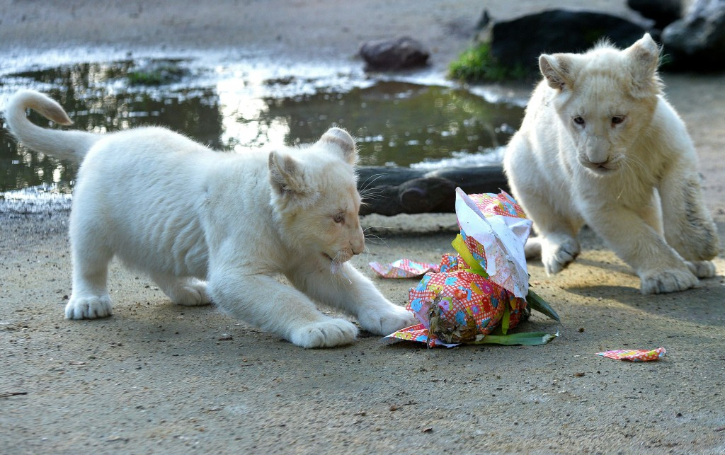 Two white lions cub play before opening a wrapped package on Easter at the zoo in La Fleche, northwestern France, on march 27, 2016. / AFP / JEAN-FRANCOIS MONIER        (Photo credit should read JEAN-FRANCOIS MONIER/AFP/Getty Images)