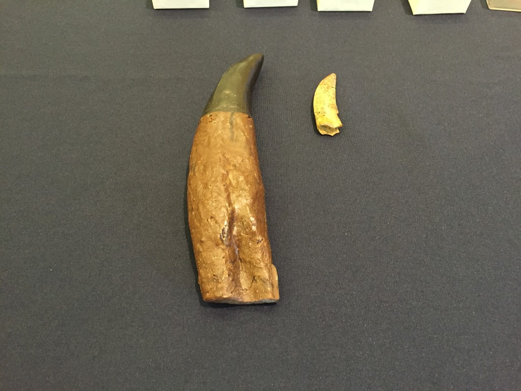 Tyrannosaurus Rex tooth (left) rests next to an actual tooth of the new tyrannosaur Timurlengia euotica from the Late Cretaceous Period that was found in the Kyzylkum Desert, Uzbekistan. Photo by Nsikan Akpan