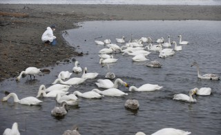 A volunteer feeds swans in an area destroyed by the March 11, 2011 tsunami inside the exclusion zone in Okuma, near Tokyo Electric Power Co's (TEPCO) tsunami-crippled Fukushima Daiichi nuclear power plant. Photo by Toru Hanai/Reuters