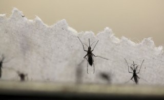 Aedes aegypti mosquitoes are seen at the Laboratory of Entomology and Ecology of the Dengue Branch of the U.S. Centers for Disease Control and Prevention in San Juan. Photo by Alvin Baez/Reuters