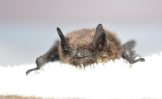 Officials confirmed this brown bat found in King County, Washington, contracted white-nose-syndrome. Photo by Progressive Animal Welfare Society