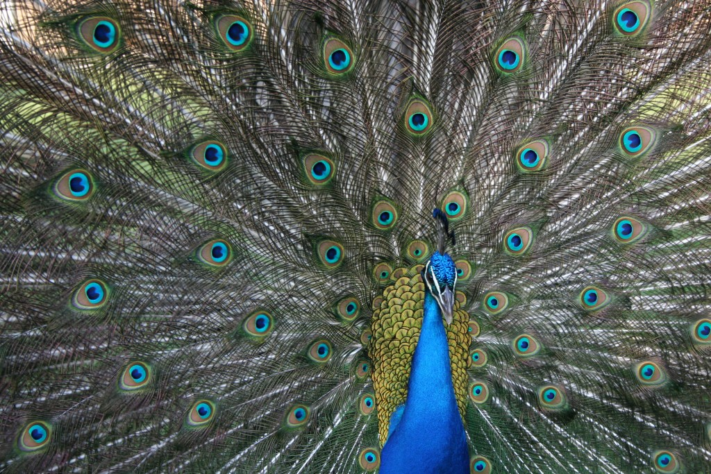 A 2013 study found placing stickers over a male peacock's iridescent eyespots caused mating success to drop to nearly zero.  Photo by Roslyn Dakin