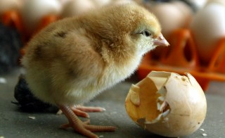 A chick is seen inside a poultry farm in the western Indian city of Ahmedabad February 22, 2006. Health workers culled thousands of birds in India on Wednesday as the nation awaited the first laboratory reports to see whether the bird flu virus had infected people, officials said. REUTERS/Amit Dave - RTR1BGWE