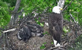 Screen image from the live eagle webcam at the National Arboretum in Washington, D.C.