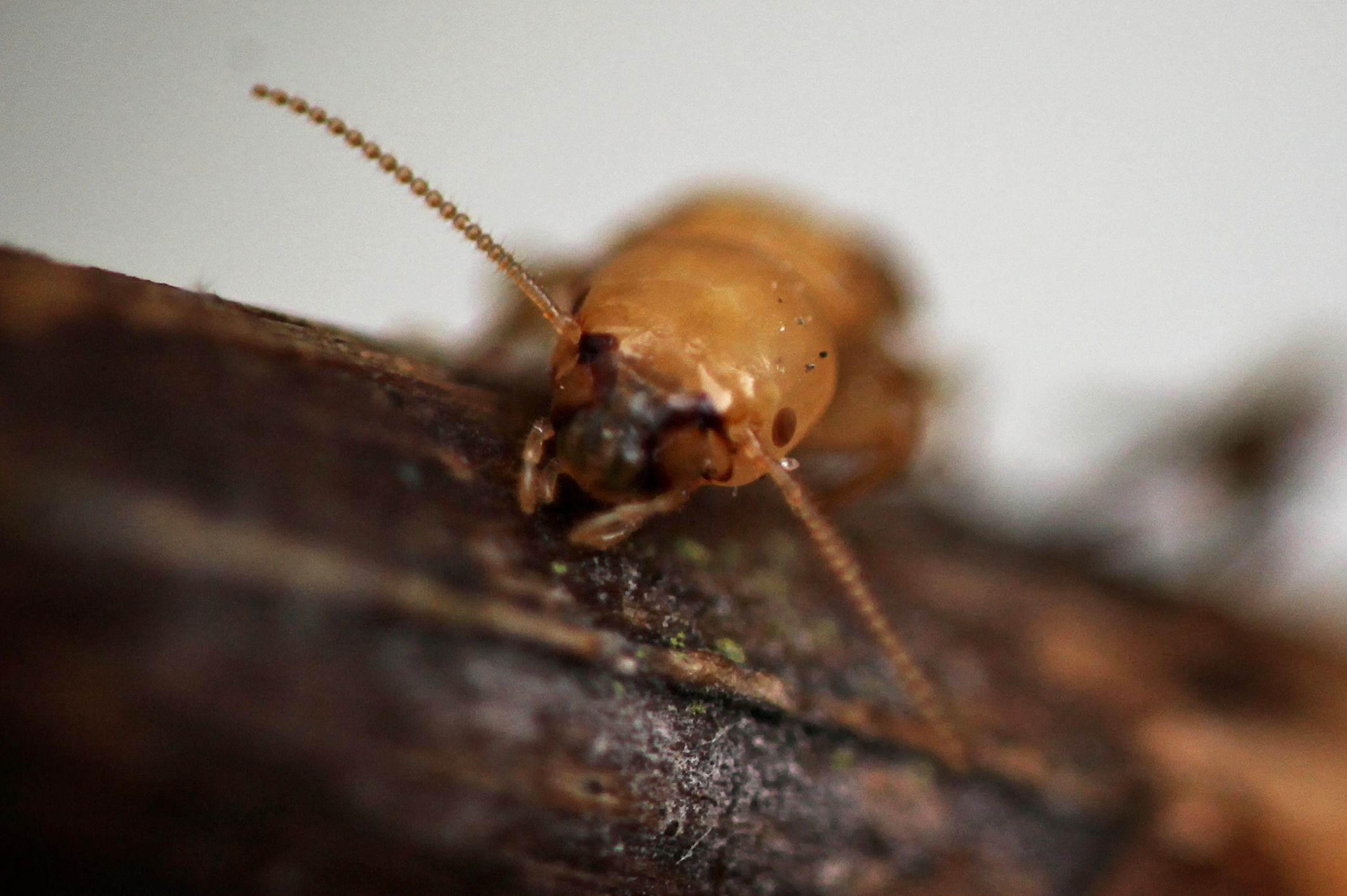 Watch And Learn How Termites Turn Your House Into A Poop Palace Pbs Newshour