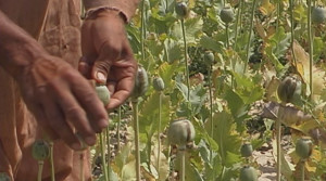 Billions in U.S. Spending Can't Slow Afghan Opium Poppy Production