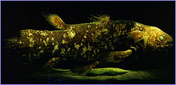 Coelacanth, the 'fossil fish'
