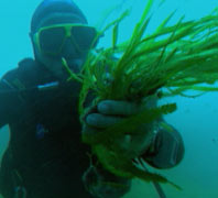Diver with clump of algae