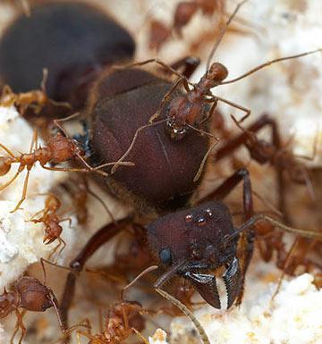 Обладатели муравьев вида они такие пофигисты и тааак плодются быстро.