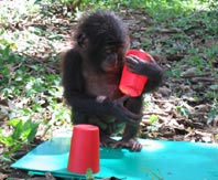 Baby chimp plays with cup