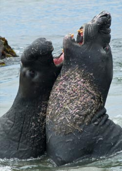 two elephant seals fighting