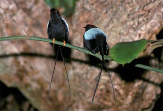 hand holding a male long-tailed manakin bird