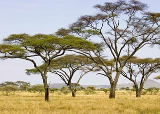 acacias in the Serengeti