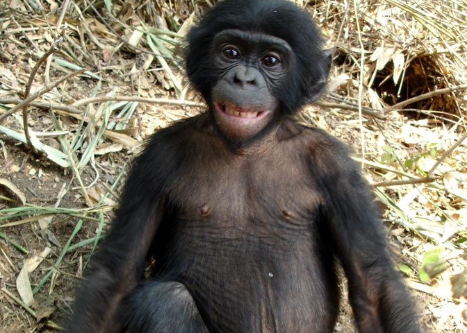 Bonobo Monkey Pictures Pictured a Baby Bonobo