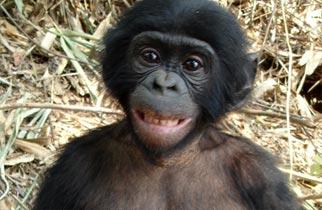 Nova Official Website The Bonobo In All Of Us
