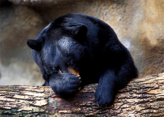 bear mounts straighty