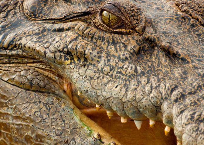 NOVA - Official Website   Deadly Crocodiles Down Under