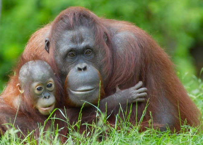 evolution of orangutans Orangutans are bilateral, meaning they are of symmetrical arrangement the   three major migratory events that occurred during the evolution of the great apes.