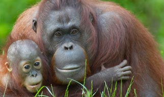 orangutan mom & infant