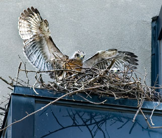 Red-tailed hawk chick stretching its wings in its nest.