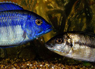 Two cichlids