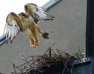 Red-tailed hawk clutching nest-building tools.