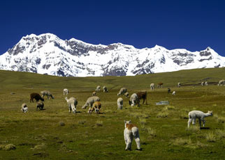 Camelids grazing in the Andes.