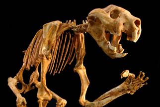 Marsupial anatomy