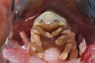 Fish lovers for Parasite that eats fish tongue