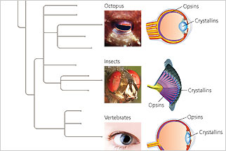 Eye diversity diagram