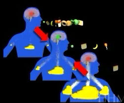 animation of leptin working in the body
