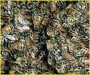 Inside a honeybee hive.