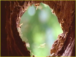 Tree opening to hive