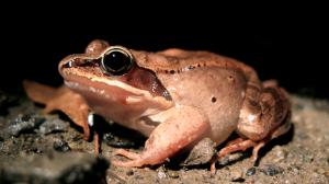 Common Wood Frog