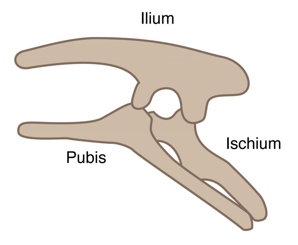 Ornithischia pelvis structure
